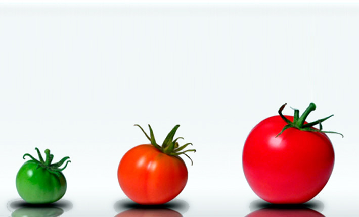 Coaching Berlin von Eva Hönnecke, dargestellt als reifende Tomaten: 1 kleine grüne, 1 mittelgroße hellrot, 1 große dunkelrot. Copyright: Paul Stolz (Panthermedia)